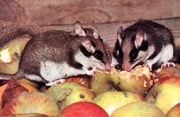 d ratisation souris rats rongeurs vienne et roussillon 38 bourg en bresse dans l 39 ain. Black Bedroom Furniture Sets. Home Design Ideas